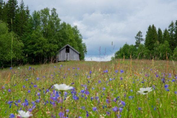 Blomstereng med sommerfjøset i bakgrunnen